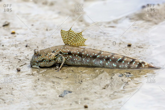 Adult male mudskipper, Periophthalmus spp, territorial display at low tide, Bako National Park, Sarawak, Borneo, Malaysia
