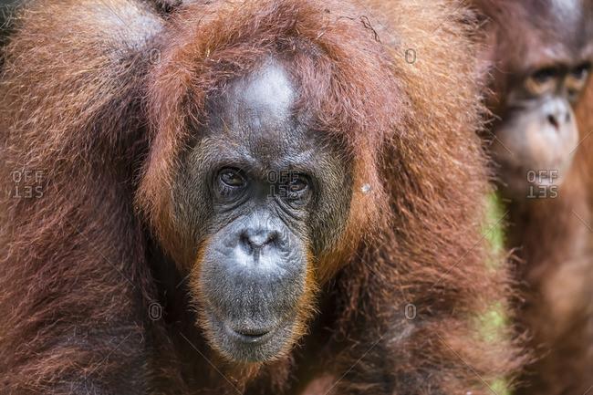 Mother and infant Bornean orangutan, Pongo pygmaeus, Semenggoh Rehabilitation Center, Sarawak, Borneo, Malaysia