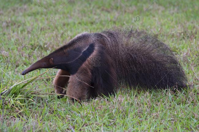 Giant Anteater, Mato Grosso, Brazil