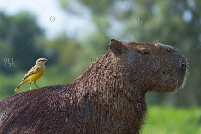 Capybara (Hydrochaeris hydrochaeris) and White-Throated Kingbird on the back,Pantanal Mato Grosso,Brazil