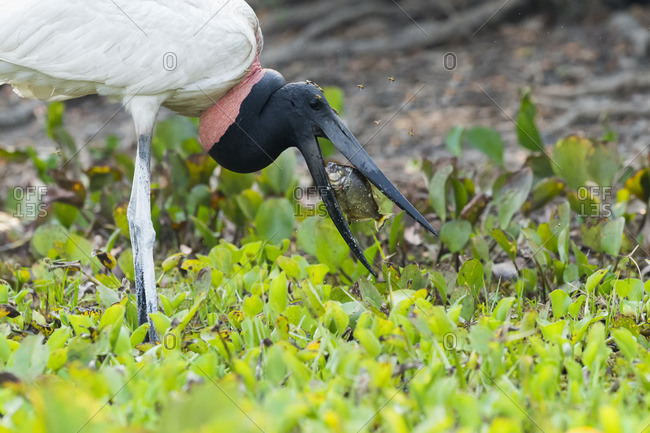 Jabiru (Jabiru mycteria) fishing and harassed by mosquitos, Pantanal, Mato Grosso, Brazil