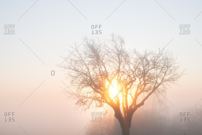 Tree, mist and morning sun in Winter