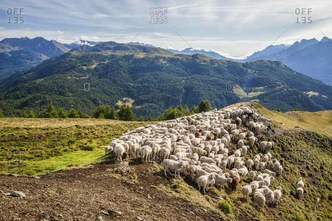 A flock of sheep in the pastures of Mount Padrio Orobie Alps Lombardy Valtellina Italy Europe