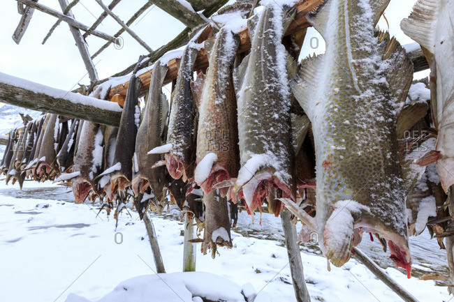 Drying codfish a typical Norwegian product Svensby Lyngen Alps Tromso Lapland Norway Europe