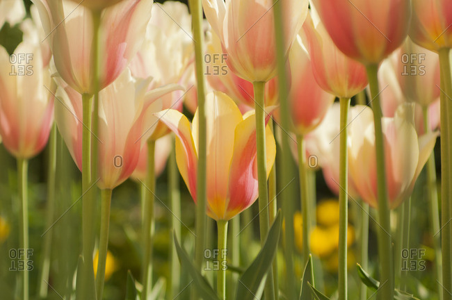 Field of Dutch tulips near Amsterdam