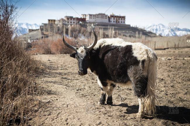 Yak standing in a dirt clearing in the Himalayan region of Leh Ladakh, India