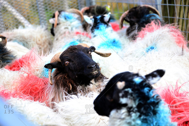 Sheep on the road 336 in Connemara, Ireland