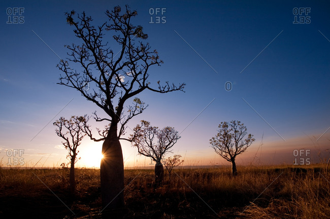 Silhouette of Boab trees Adansonia gregorii at sunset, Near Kununurra, Western Australia, Australia