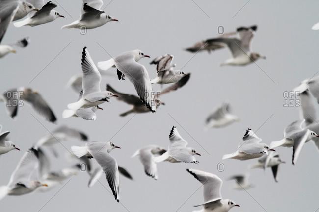 Mire crow, Chroicocephalus ridibundus, Kiel Fjord, Baltic sea, Kiel, Schleswig-Holstein, Germany