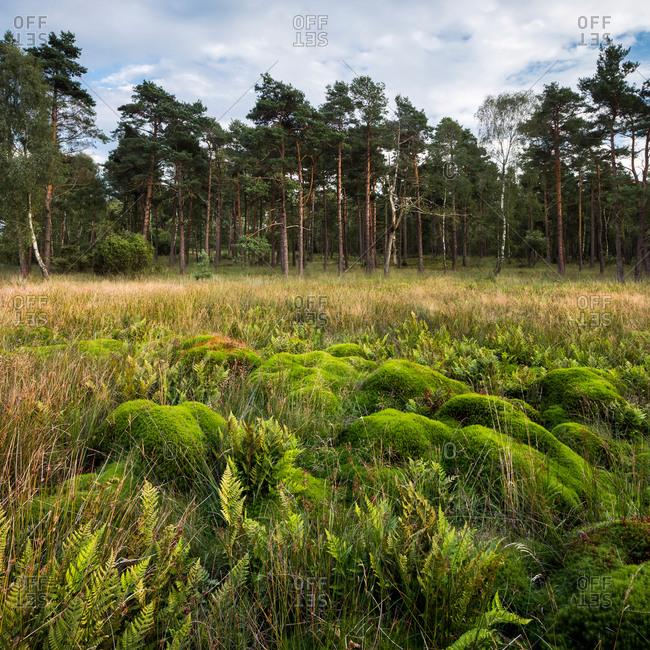 Landscape near Wilsede, Bispingen, Lueneburger Heide Nature Park, Niedersachsen, Germany