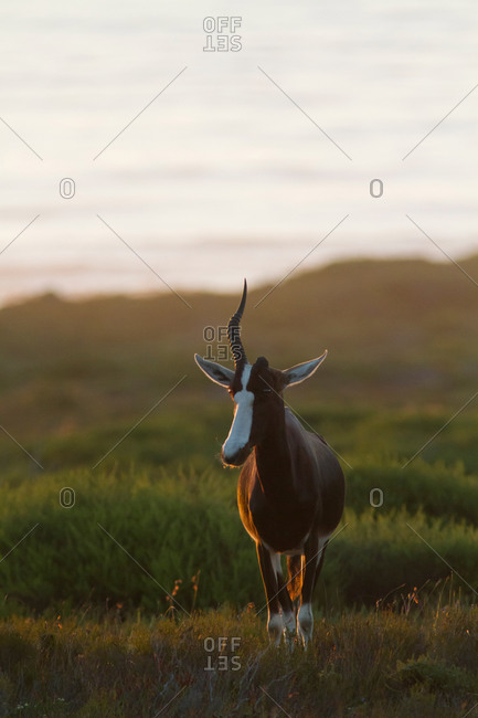 Bontebok, Damaliscus pygargus, with one horn