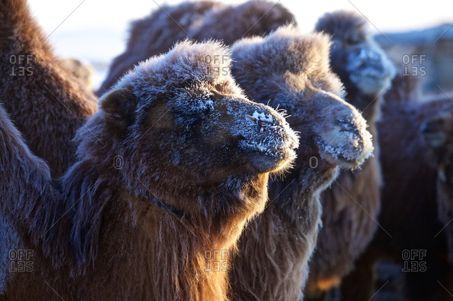 Camels with hoarfrost in wintertime in the Gobi desert, Mongolia