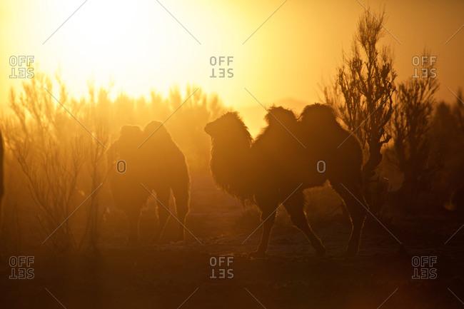 Camels in the back light of the morning sun, Gobi desert, Mongolia