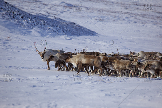Reindeer herd in Siberian