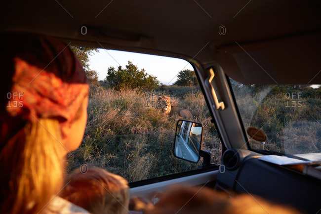 Family in a 4WD watching at a lion