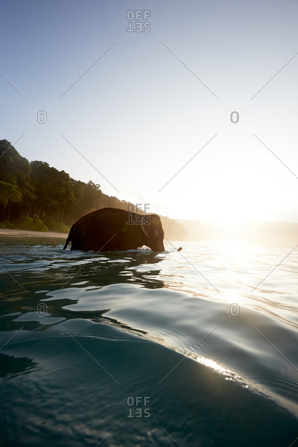 Elephant goes swimming on each in the early morning