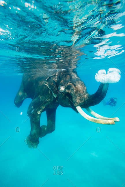 Swimming elephant, snorkelers and divers accompanying him