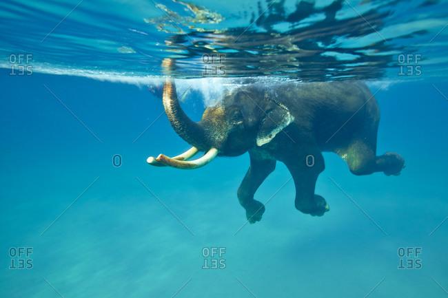 Swimming elephant, Havelock Island, Andaman Islands, Union Territory, India