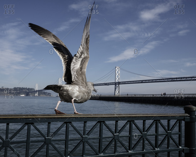 Seagull with its wings up walking along a bridge ready to take flight