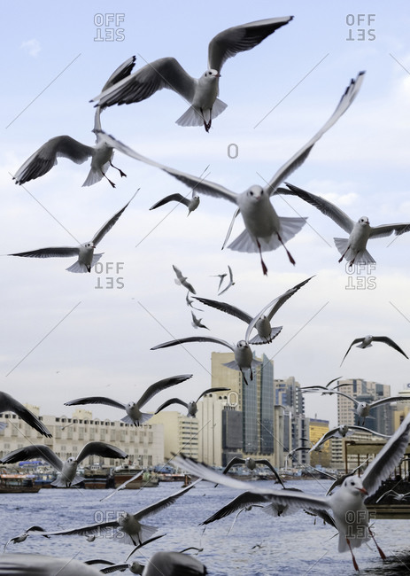 Many seagulls in flight above a river in the city