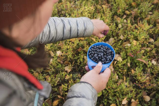 Hiker picking wild blueberries outside Tarnasjos hut, Kungsleden trail, Lapland, Sweden
