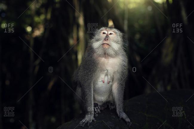 Indonesia, Bali, Ubud, Monkey forest temple, monkey sit in forest Ubud Bali Indonesia