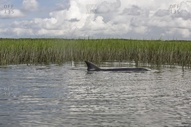 A bottle nose dolphin swimming in shallow waters during an extreme high tide, Charleston SC