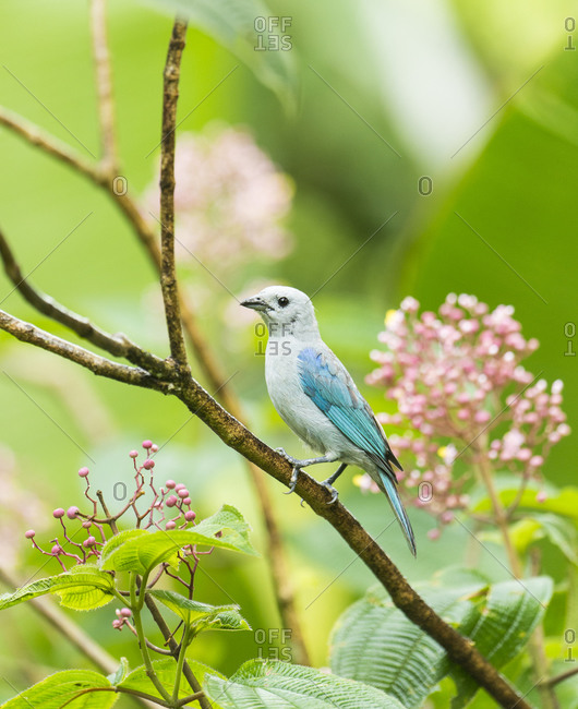 Blue-Gray Tanager (Thraupis episcopus), Costa Rica