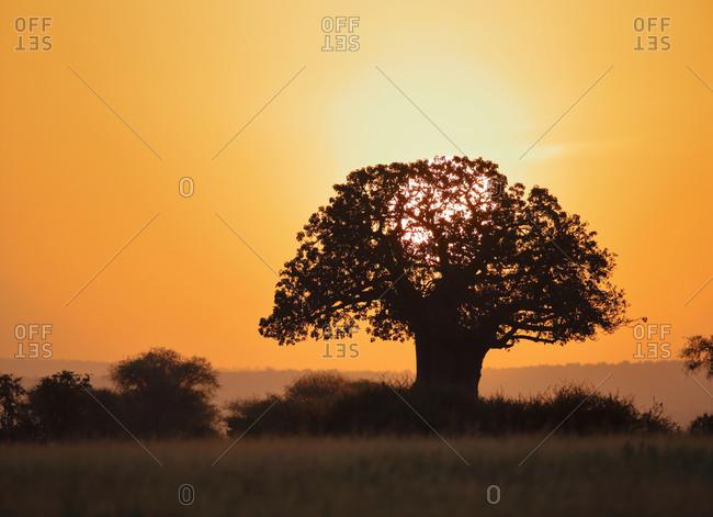 A baobab tree at sunrise