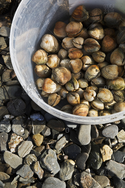 A metal bucket full of cockles collected on the beach