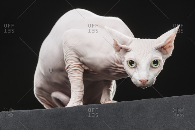 Close-up portrait of Sphynx hairless cat against black background