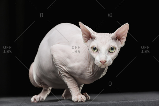 Close-up portrait of Sphynx hairless cat looking away against black background