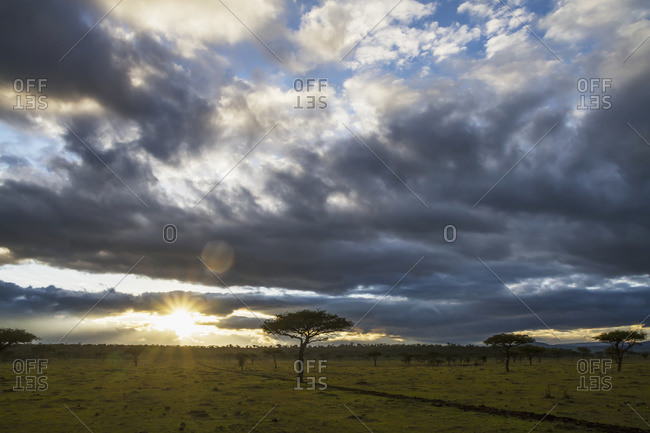 Acacia trees at sunrise, Mara Naboisho Conservancy; Kenya