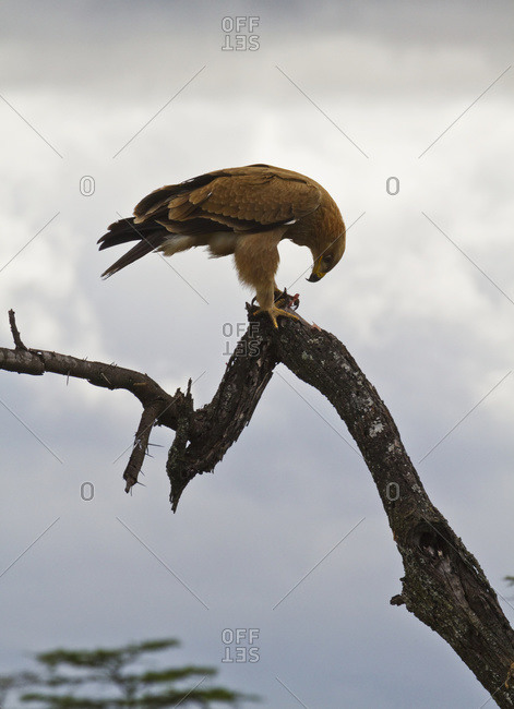 Tawny eagle (Aquila rapax), Mara Naboisho Conservancy; Kenya