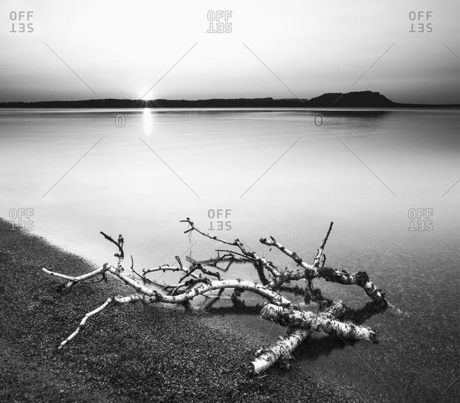 Birch branches on the shores of Lake Superior; Thunder Bay, Ontario, Canada