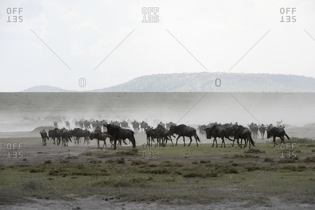 Herd of Wildebeest (Connochaetes taurinus) stirs up dust while moving across Serengeti short grass plains near Ndutu, Ngorongoro Crater Conservation Area; Tanzania