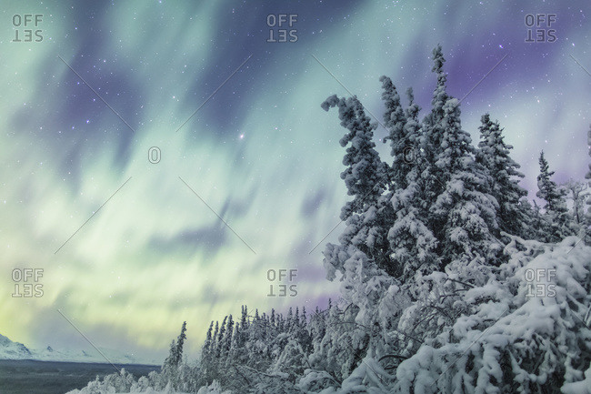 Northern Lights over snowcovered evergreen trees, Copper River Valley, Southcentral Alaska, winter