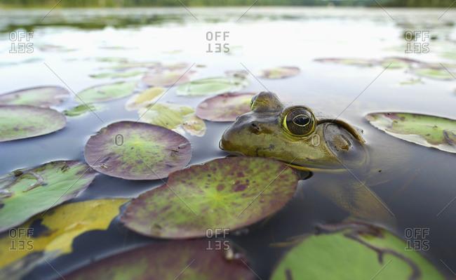Bullfrog (Lithobates catesbeianus); Lac-Bouchette, Quebec, Canada