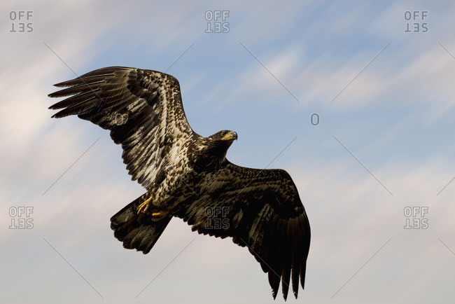 An adolescent bald eagle (Haliaeetus leucocephalus) soars through the sky looking for food; Pitt Meadows, British Columbia, Canada