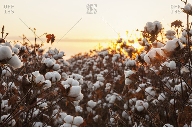 Open cotton at the harvest stage at sunrise; England, Arkansas, United States of America