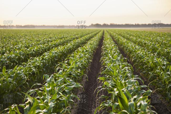 Conventional till corn; England, Arkansas, United States of America