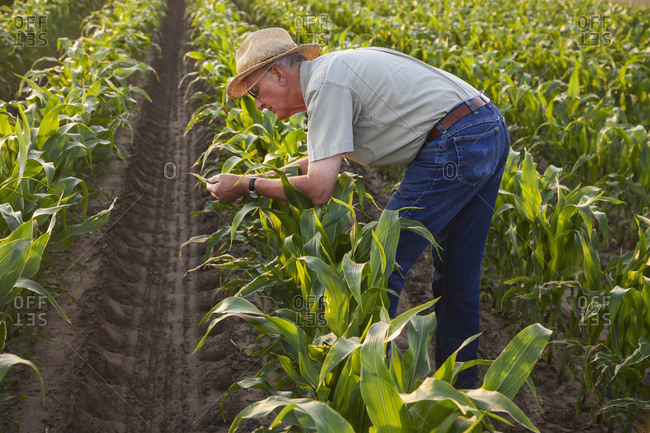 Farmer checks knee high, conventional till corn for signs of insect pest damage and leaf disease; England, Arkansas, United States of America