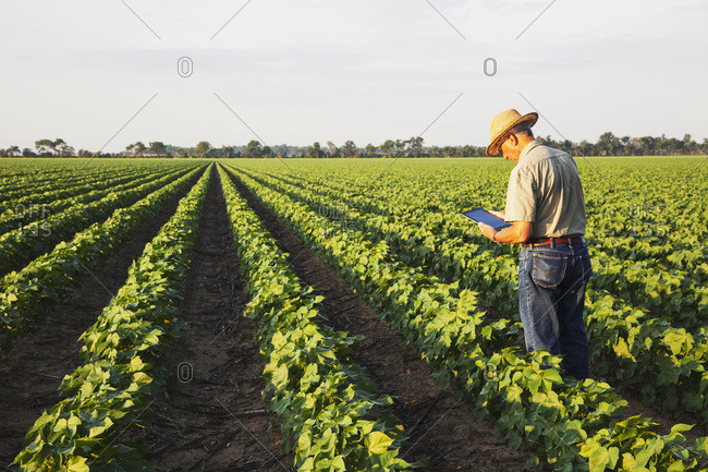 Crop consultant uses tablet to make notes of his observations while checking field of no till cotton in peak fruit development stage; England, Arkansas, United States of America