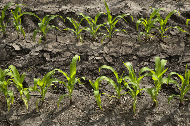 Oblique rows of young corn plants as seen in late spring on a family farm; Centerville, Ohio, United States of America
