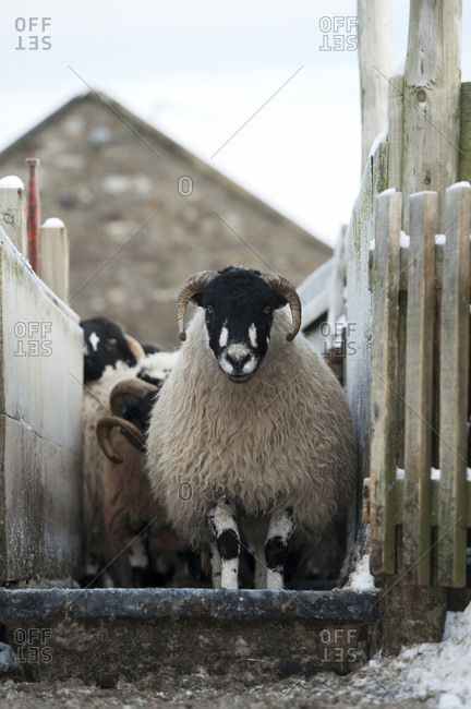 Dalesbred sheep going through a footbath to help prevent foot rot; North Yorkshire, England