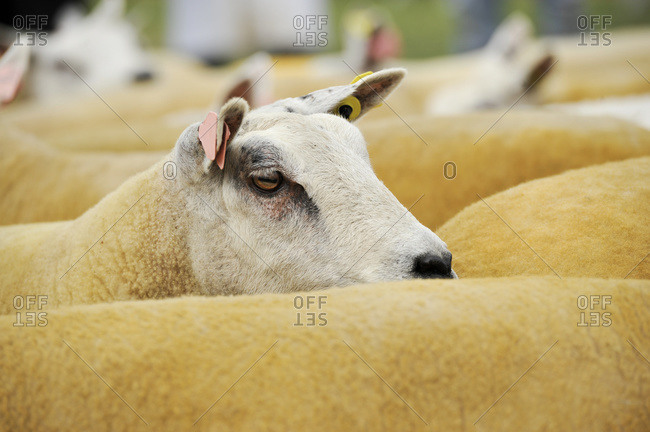 Beltex sheep being showed at an agricultural show; United Kingdom