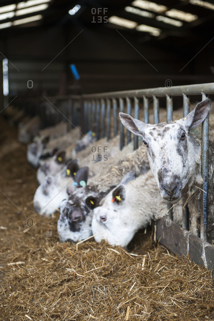 In lamb ewes in lambing shed receiving a complete silage based diet; Cumbria, England
