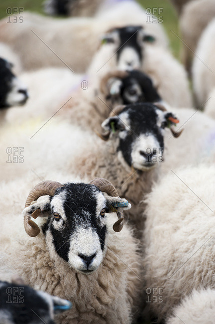 Flock of Swaledale ewes which have been crossed with a Blue Faced Leicester ram to produce mule crossbred lambs; Cumbria, England