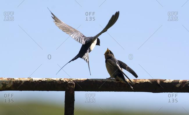 Adult Barn Swallow (Hirundo rustica) feeding young fledglings; United Kingdom