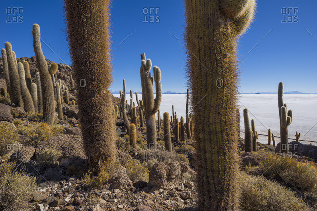 Cactus grow in abundance on the rock island Incahuasi in the Salar de Uyuni; Bolivia